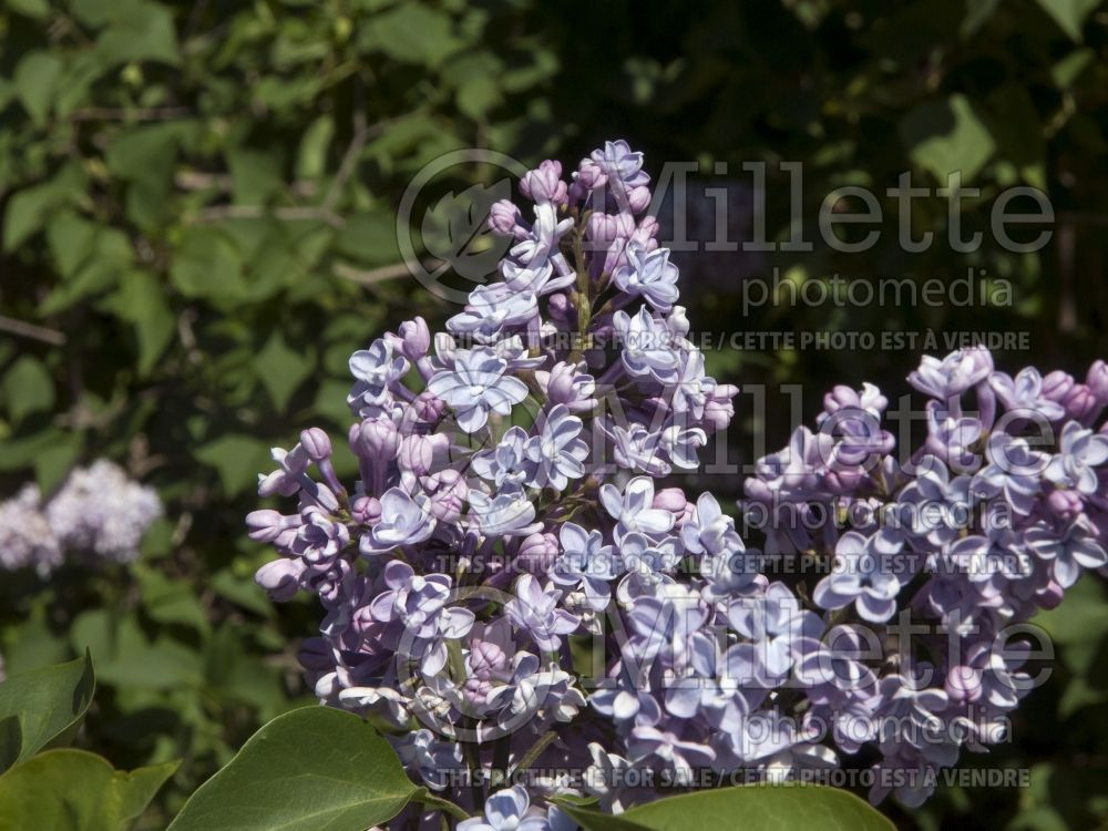 Syringa Little Blue Boy akaWonderblue (Lilac) 3