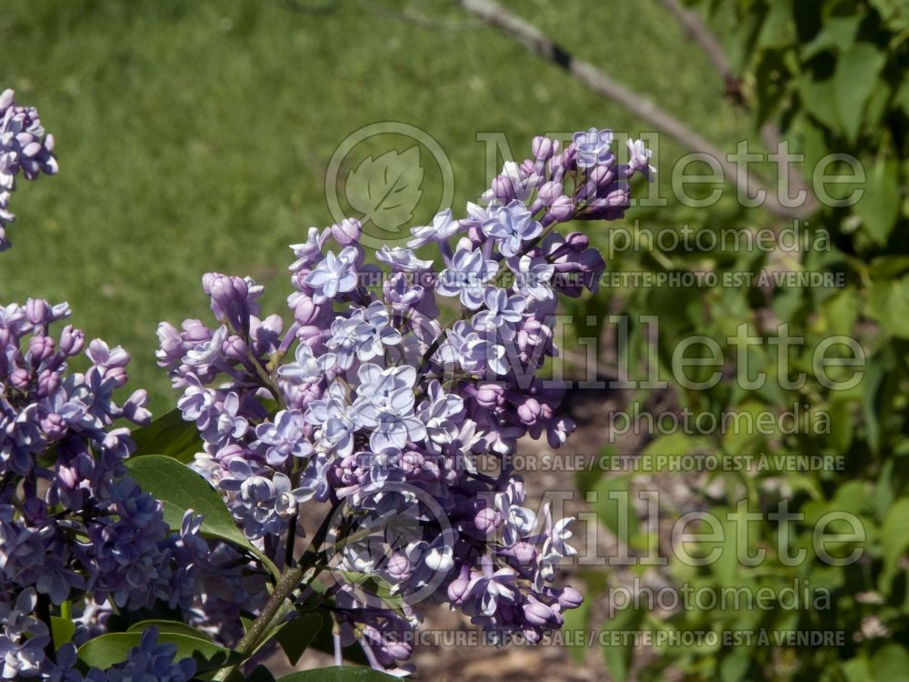 Syringa Little Blue Boy akaWonderblue (Lilac) 4