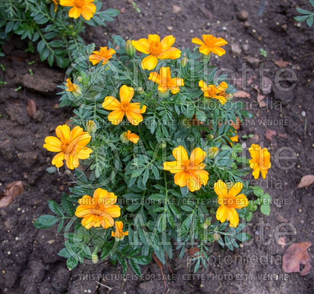 Tagetes Bambino (Oeillet d'inde, Tagète) 1