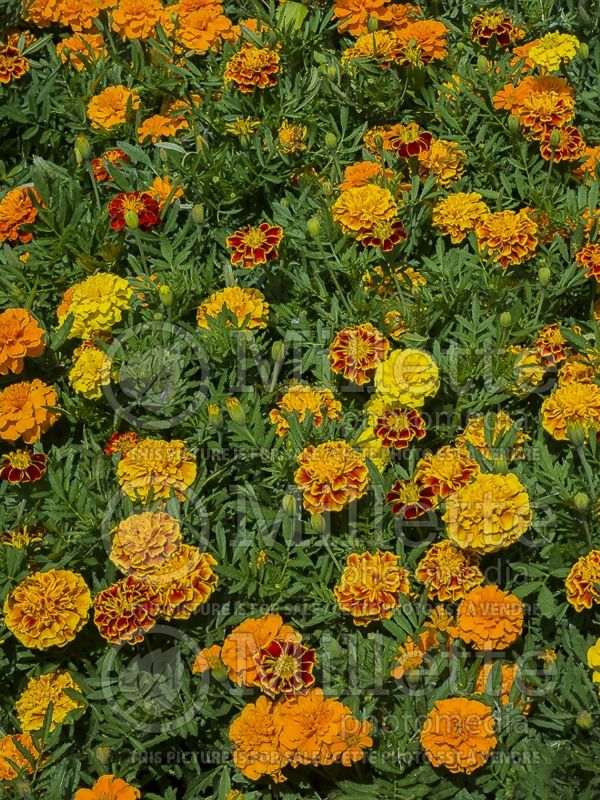 Tagetes Bonanza Mix (French marigold) 1