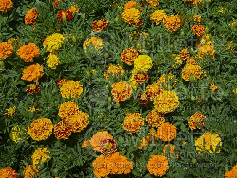 Tagetes Bonanza Mix (French marigold) 2