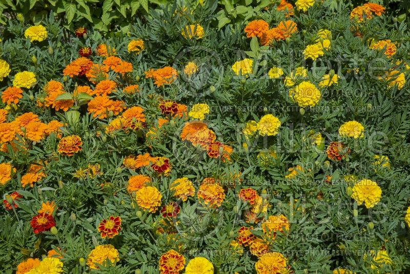 Tagetes Bonanza Mix (French marigold) 3