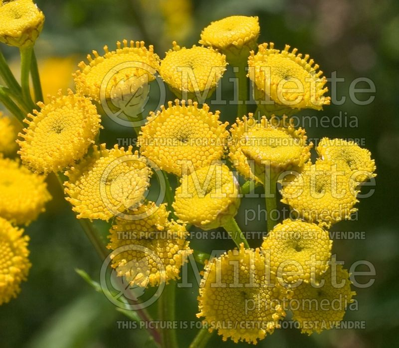 Tanacetum or Chrysanthemum Tansy (Painted Daisy) 2