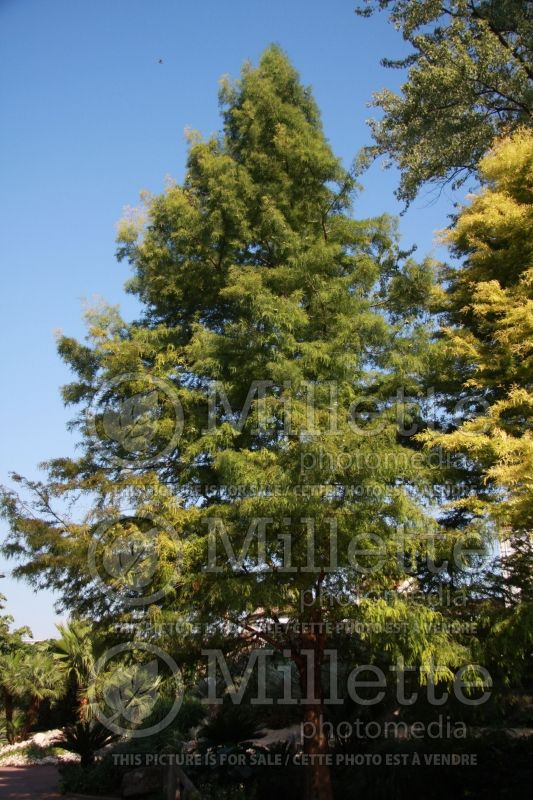 Taxodium distichum (Bald Cypress conifer) 2