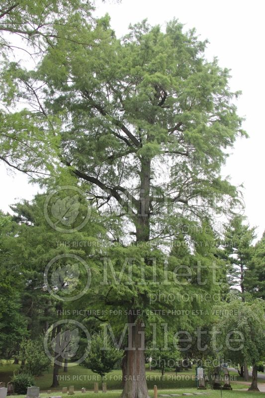 Taxodium distichum (Bald Cypress conifer) 1