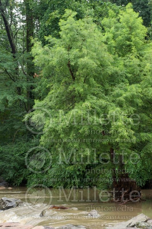 Taxodium distichum (Bald Cypress conifer) 3