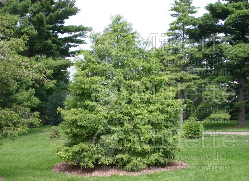 Taxodium distichum (Bald Cypress conifer) 4