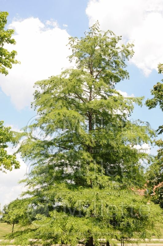 Taxodium distichum (Bald Cypress conifer) 5