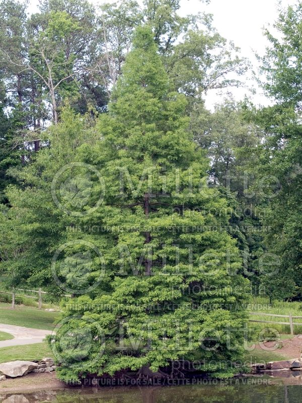 Taxodium distichum (Bald Cypress conifer) 6
