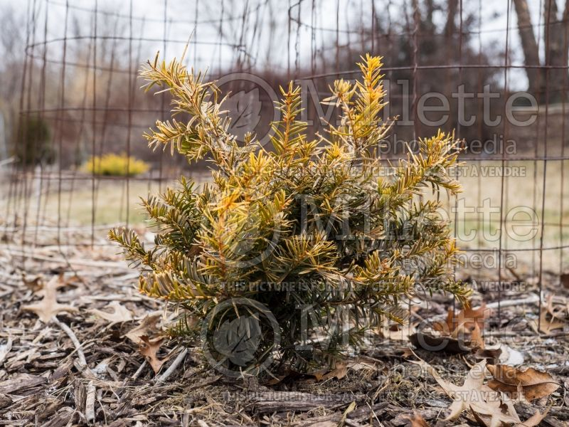 Taxus Repandens Aurea (Winter look) (English Yew conifer) 1