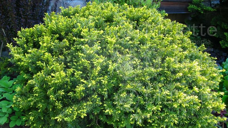 Taxus Dwarf Bright Gold (English Yew conifer) 9