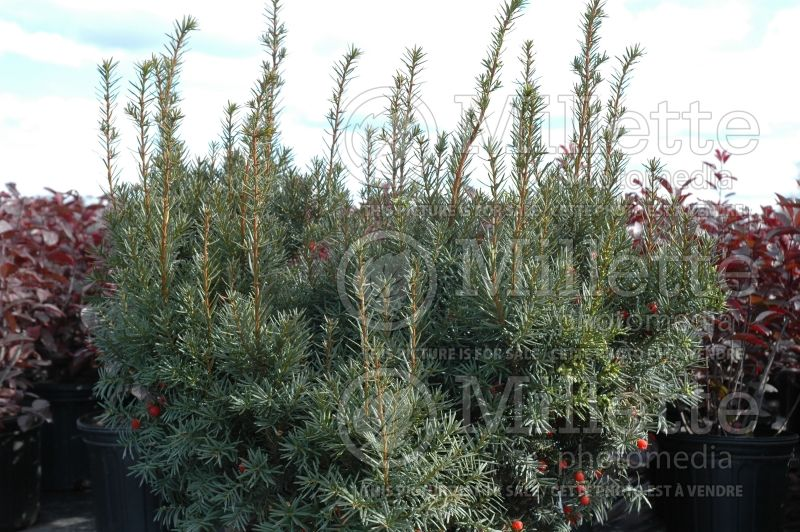 Taxus Nana (English Yew conifer) 1