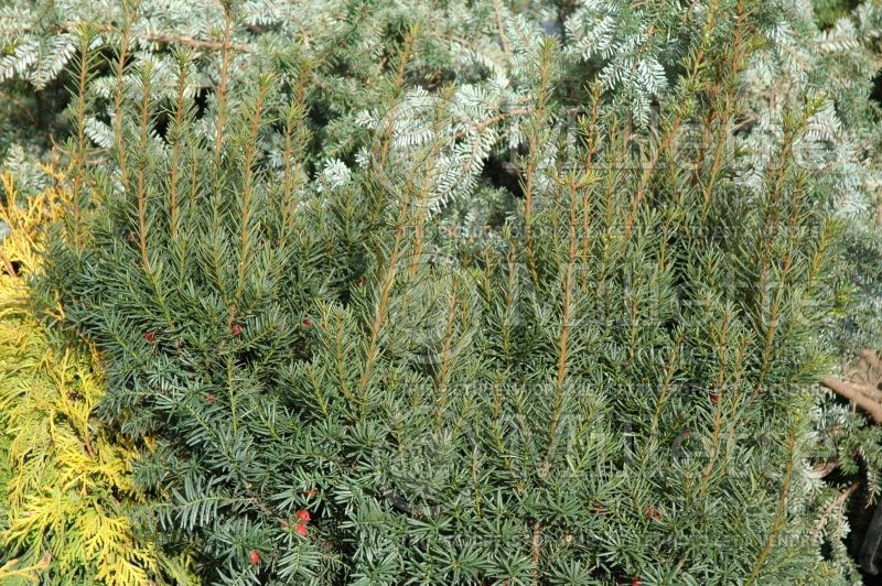 Taxus Nana (English Yew conifer) 2