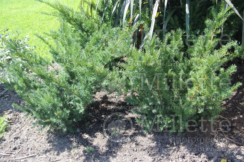 Taxus Densiflorus (English Yew conifer) 2