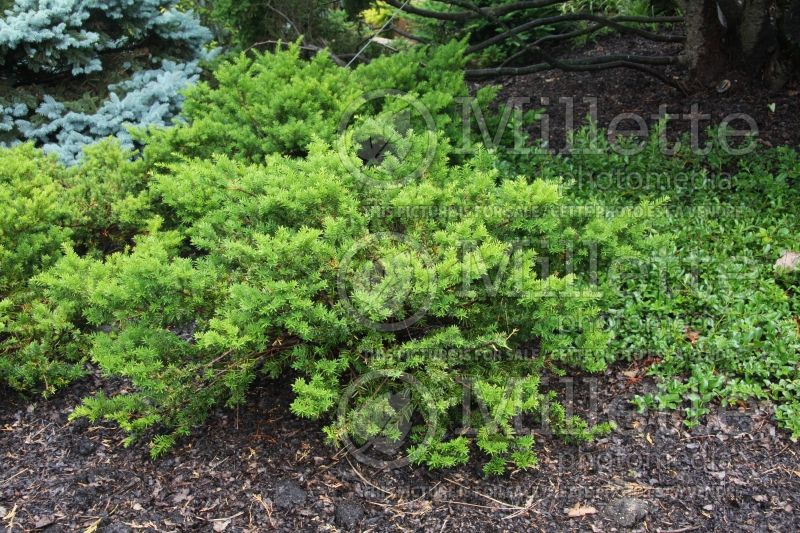 Taxus Everlow (English Yew conifer) 2