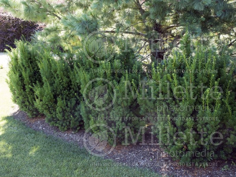 Taxus Hicksii (English Yew conifer) 12