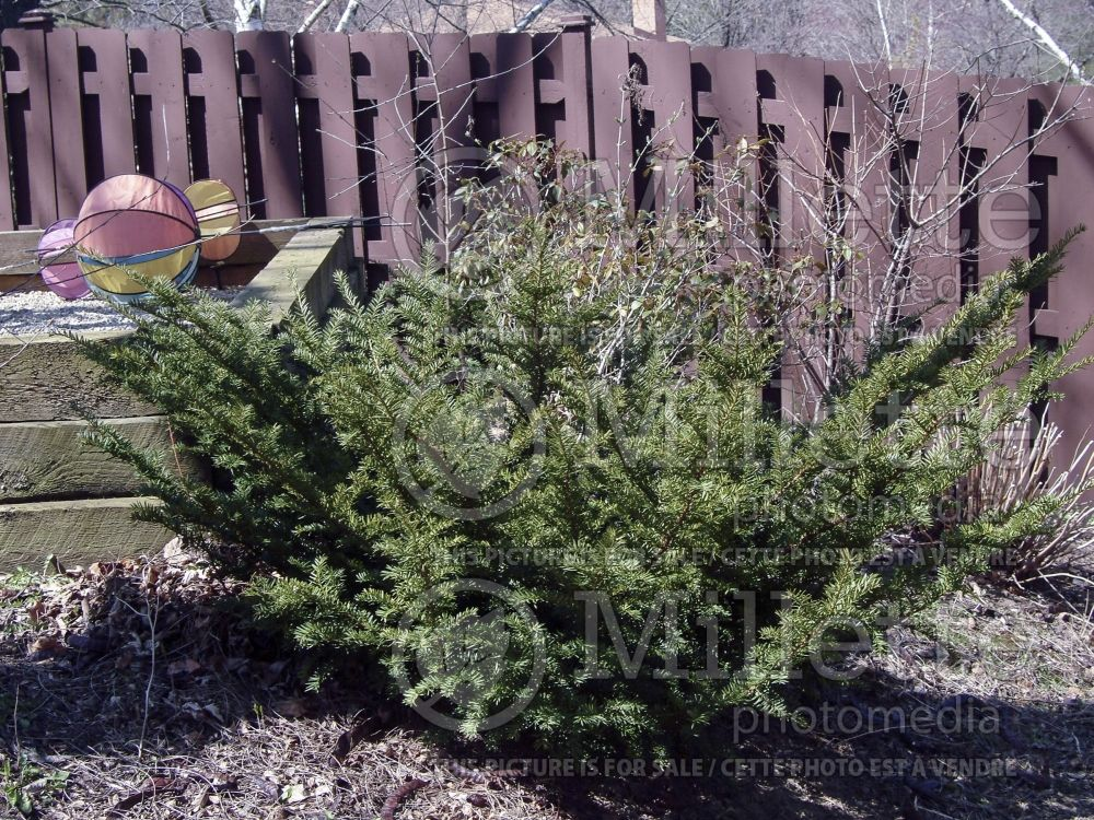 Taxus Tauntonii (English Yew conifer) 2