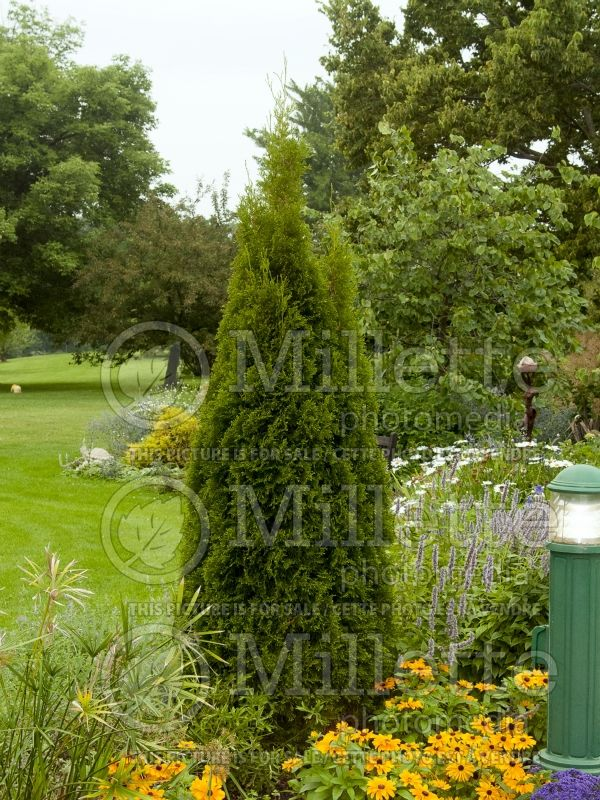 Thuja or Thuya Emerald Green or Smaragd (Eastern Arborvitae conifer) 8