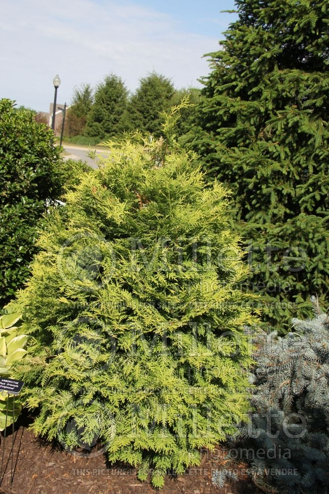 Thuja aka Thuya Enlightened (Arborvitae conifer) 1