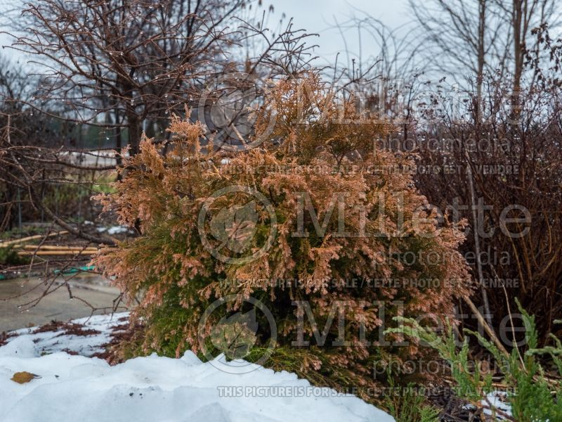 Thuja Fire Chief or Congabe (Winter look) (Arborvitae conifer) 5
