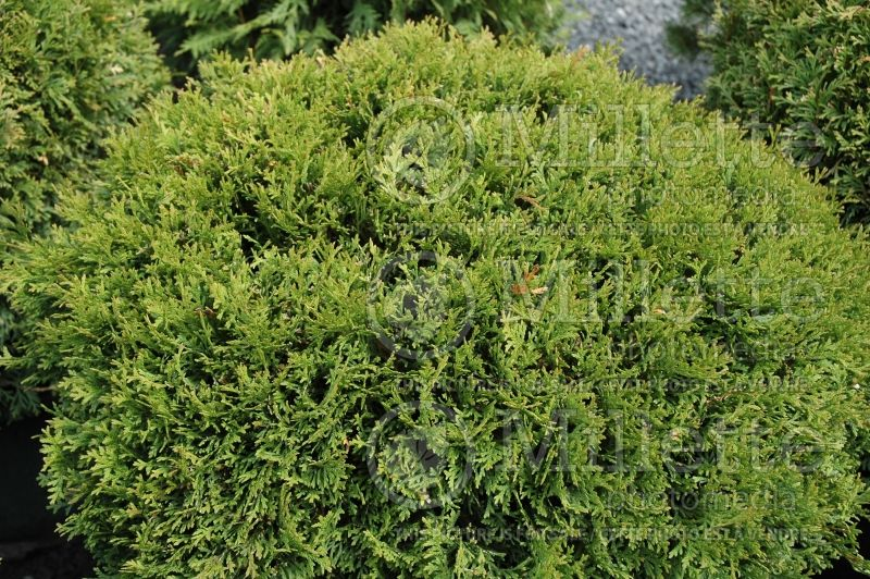 Thuja or Thuya Little Giant (Eastern Arborvitae conifer) 3