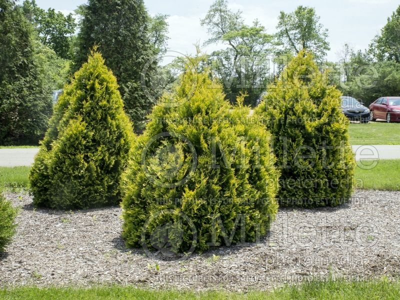 Thuja or Thuya occidentalis Sunkist (Eastern Arborvitae conifer) 6