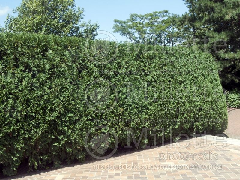 Thuja or Thuya Techny or Mission – Hedge (Eastern Arborvitae conifer) 3