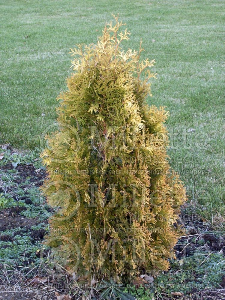 Thuja aka Thuya Yellow Ribbon (Arborvitae conifer) 8