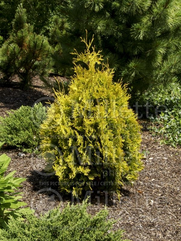 Thuja or Thuya Yellow Ribbon (Arborvitae conifer) 7