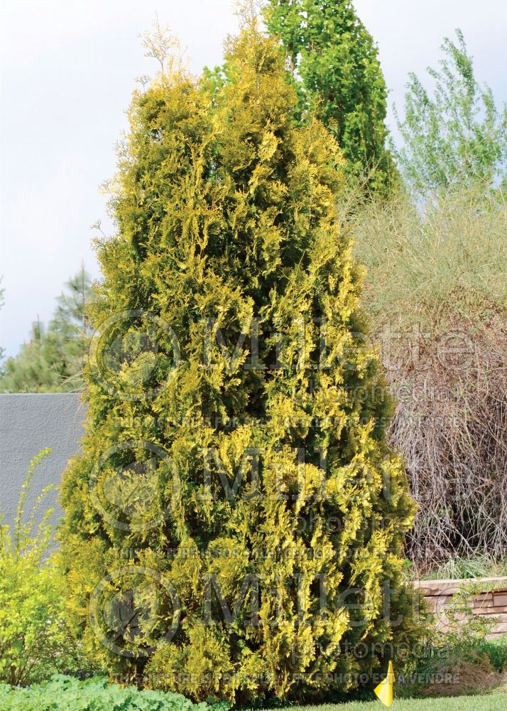 Thuja aka Thuya Yellow Ribbon (Arborvitae conifer) 9