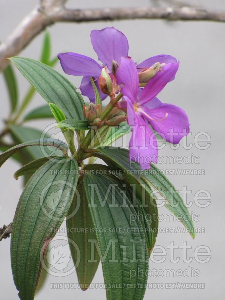 Tibouchina granulosa (purple glory tree or princess flower) 3