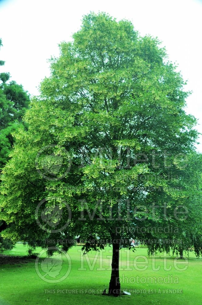 Tilia Laciniata (large-leaved lime - tilleul) 2