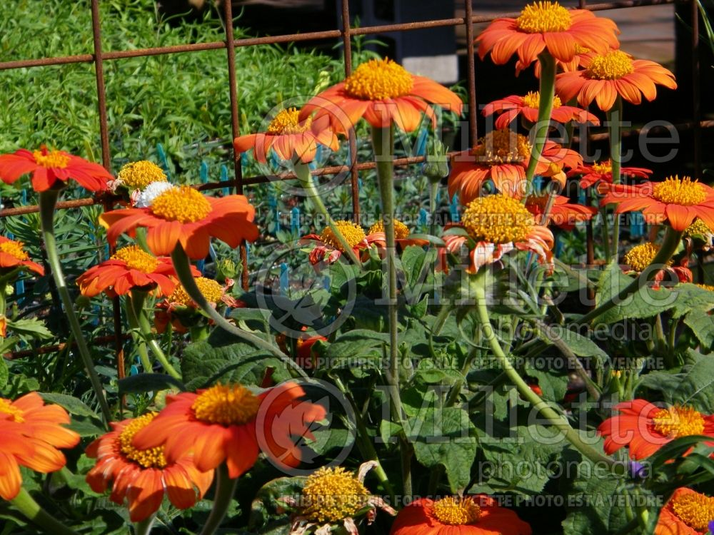 Tithonia The Torch (Mexican sunflower) 1