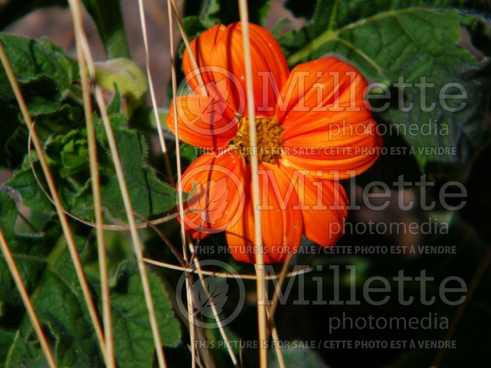 Tithonia The Torch (Mexican sunflower) 2