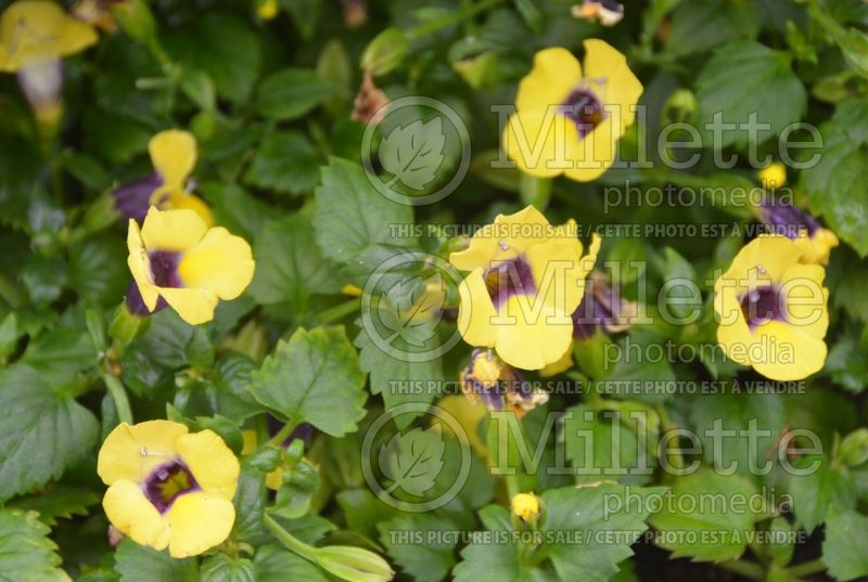 Torenia Catalina Gilded Grape (Wishbone Flower) 1