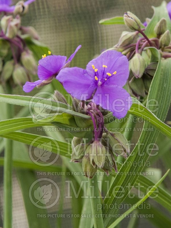Tradescantia Concord Grape (Spiderwort) 8