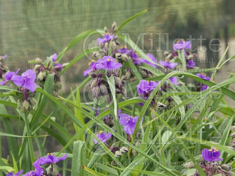 Tradescantia Concord Grape (Spiderwort) 6