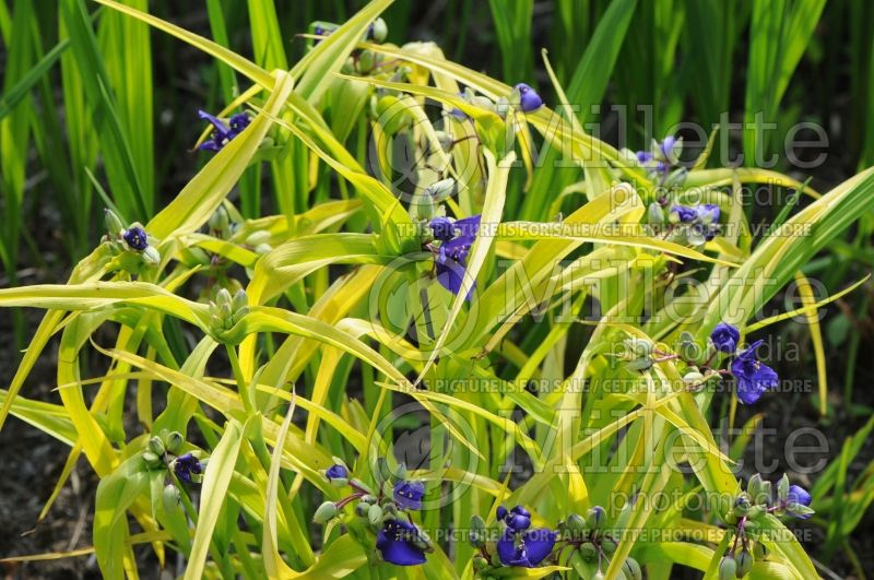 Tradescantia Blue and Gold or Sweet Kate (Spiderwort) 3