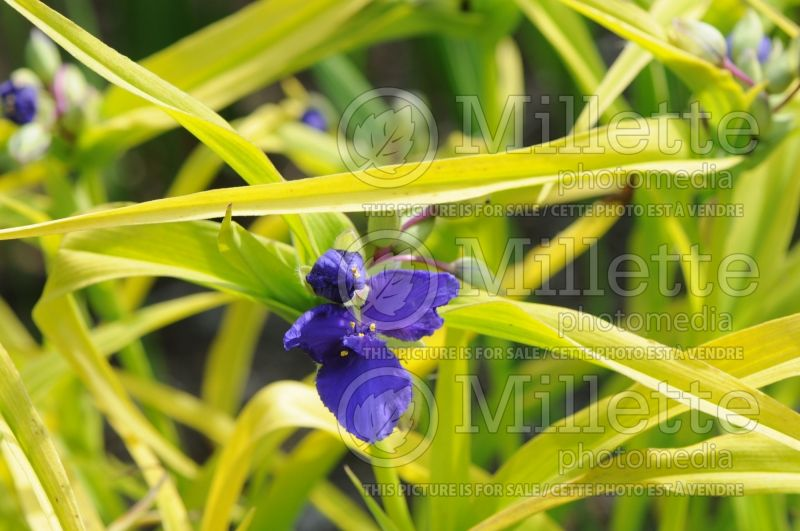 Tradescantia Blue and Gold or Sweet Kate (Spiderwort) 2