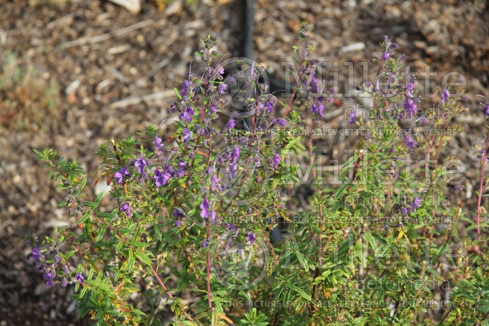 Trichostema Midnight Magic (blue curls) 2