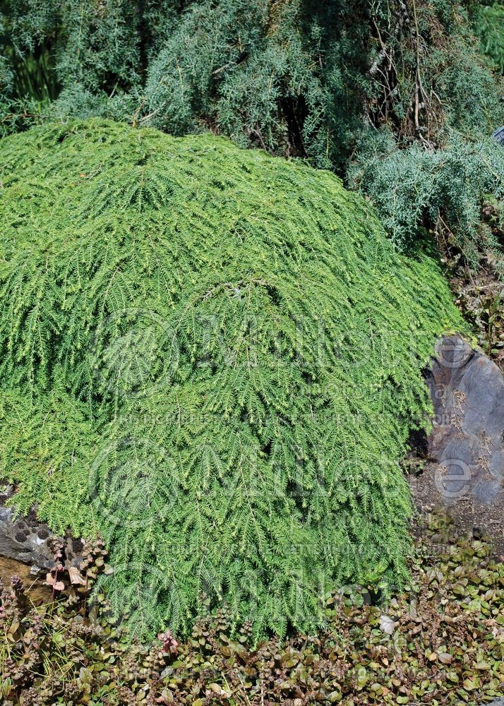 Tsuga Cole's Prostrate (Canadian Hemlock conifer) 3