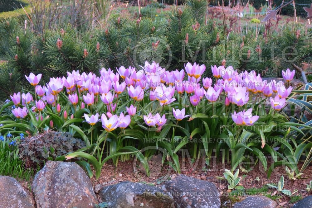 Tulipa Lilac Wonder (Greek and Turkish species Tulip) 4