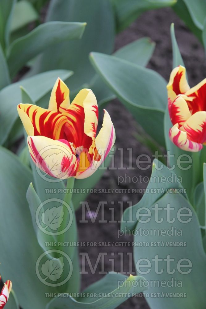 Tulipa Grand Perfection (Viridiflora Tulip) 4
