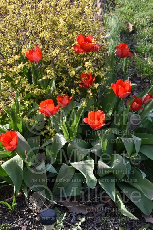 Tulipa Red Impression (Tulip) 1