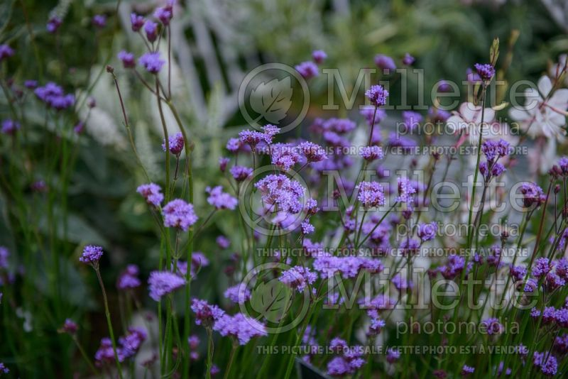 Verbena Little One (vervain) 2