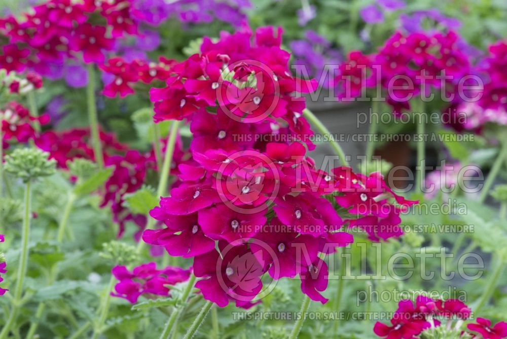 Verbena Empress Flair Cherry (Vervain) 1