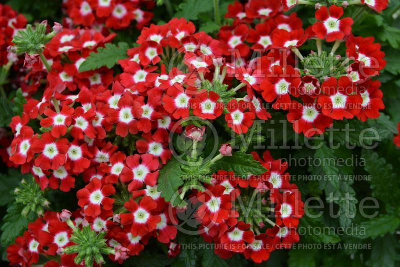 Verbena Tuscany Scarlet with Eye (vervain) 1