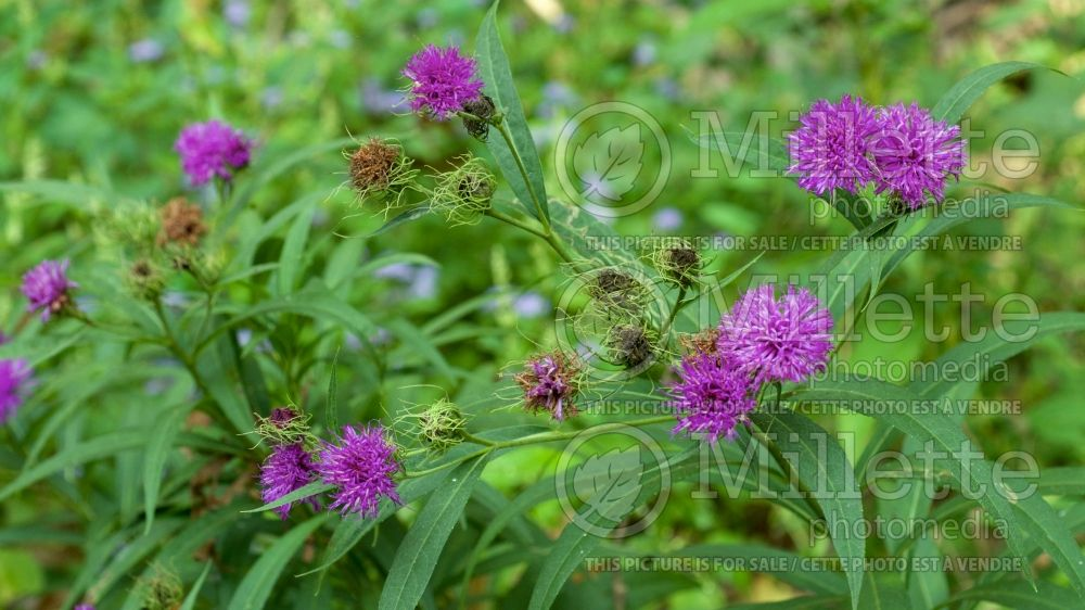 Vernonia arkansana (Ironweed )  1