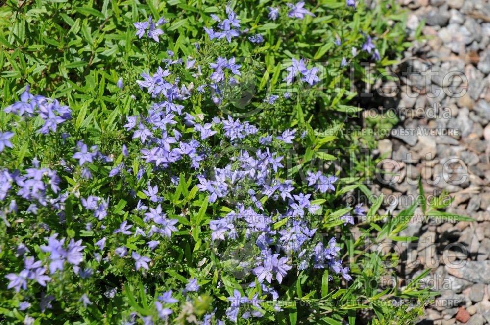 Veronica pectinata (Woolly Speedwell) 4