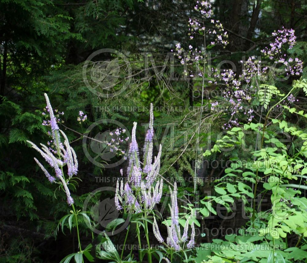 Veronicastrum Fascination (Culver's Root) 8